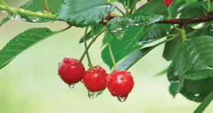 Apă-ți lasă-n gură, fructele de cireșar!